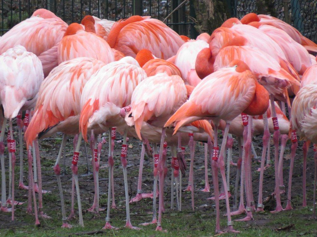 Roter Flamingo, Foto: Christian Lamghans