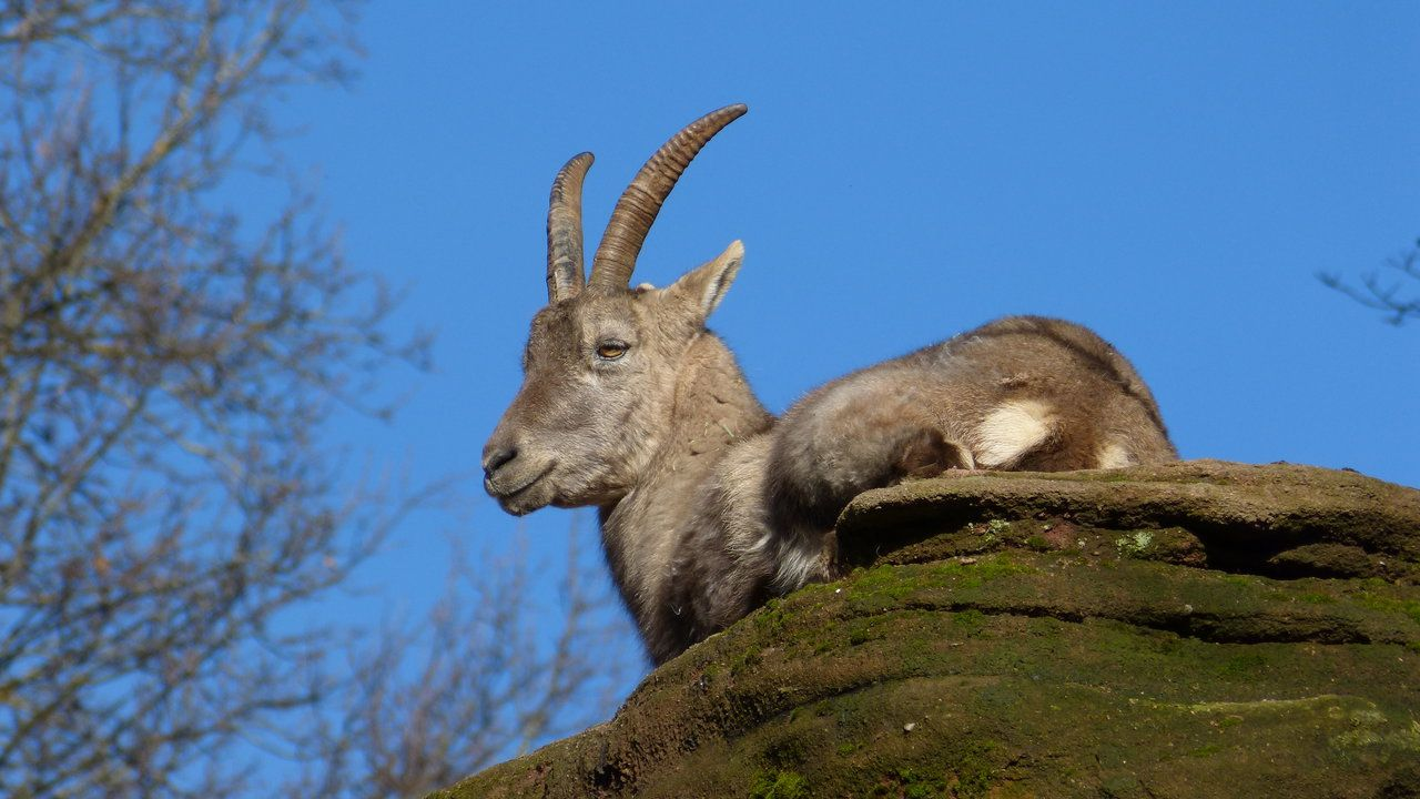 Alpensteinbock, Foto: , Foto: Christoph Barthel