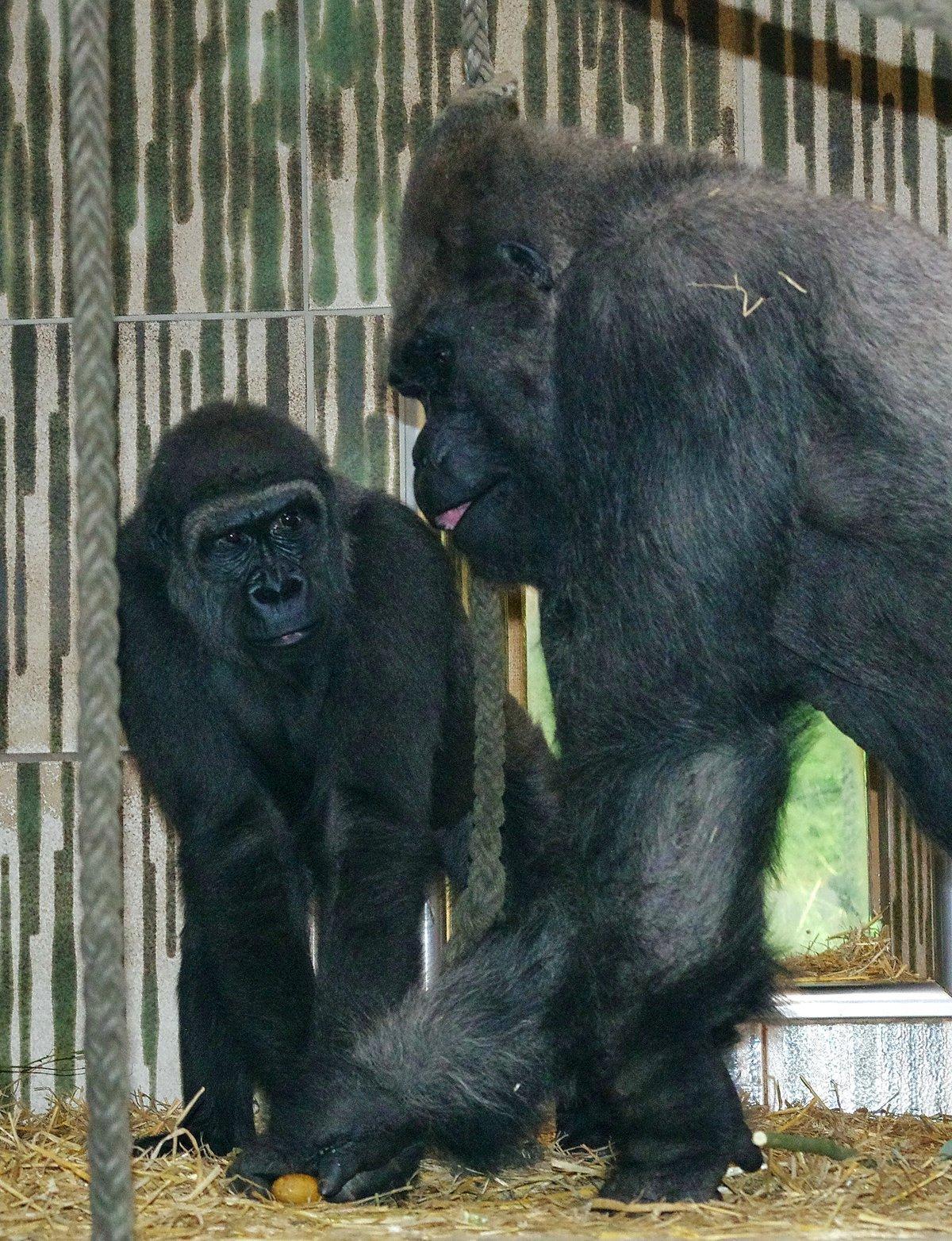 neuer gorilla im tiergarten. Black Bedroom Furniture Sets. Home Design Ideas