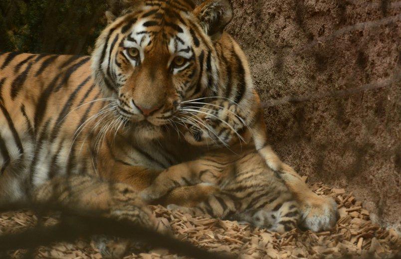 kleine tiger entwickeln sich gut im tiergarten n rnberg zoofreunde. Black Bedroom Furniture Sets. Home Design Ideas