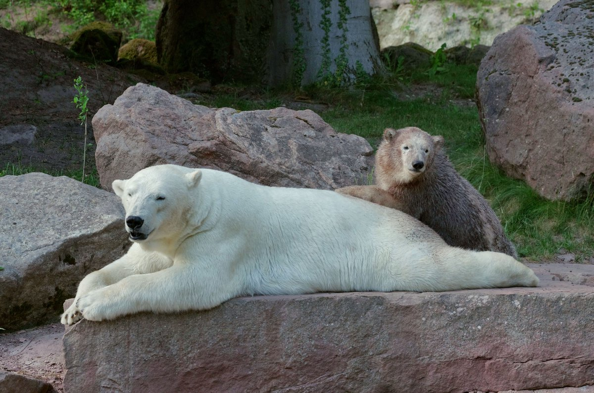 Eisbären In Zoos
