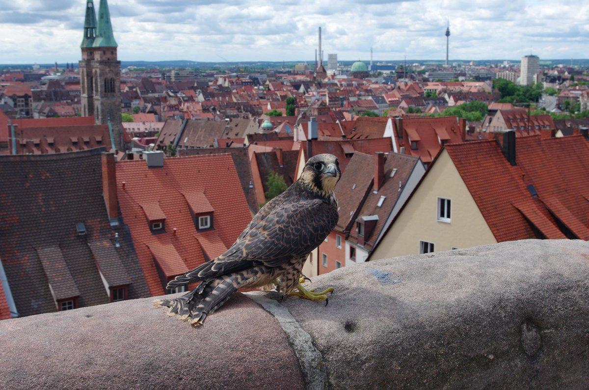 Wanderfalke Nürnberg