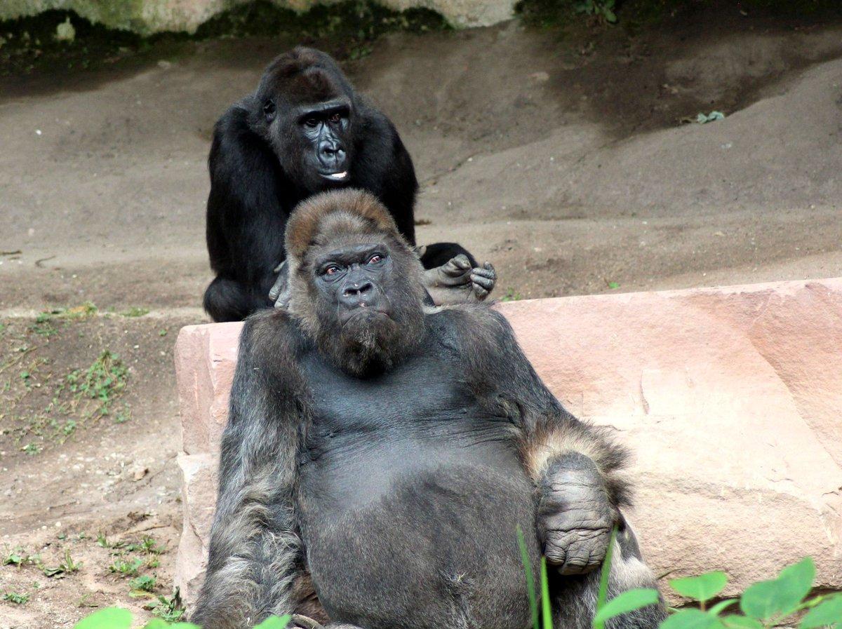 Tiergarten.nuernberg.de: gorilla fritz im tiergarten nürnberg ist tot
