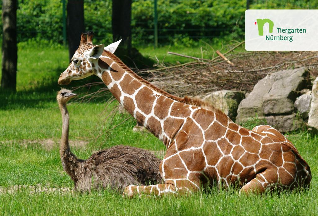tiergartenvortrag zu freilebenden giraffen in afrika. Black Bedroom Furniture Sets. Home Design Ideas